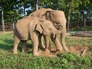 Animals Asia ofrecerá 60 mil dólares a Vietnam para proteger a elefantes
