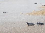 Trabaja Vietnam por conservar tortugas marinas en el Parque Nacional de Nui Chua