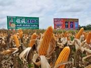 Mantiene Tailandia su  lugar como mayor exportador de maíz dulce en el mundo