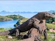 Reporta Indonesia avances en la preservación del dragón de Komodo