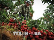 Cultivo de lichi genera ingreso estable para agricultores vietnamitas
