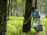 Acuerdan Tailandia, Indonesia y Malasia reducir exportaciones de caucho