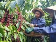 Presentarán el café vietnamita en Festival de Buon Ma Thuot 2019
