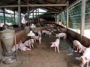 FAO y OIE apoyan a Vietnam en la lucha contra epidemia de fiebre porcina africana