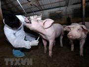 Controlan brote de fiebre porcina africana en Hanoi
