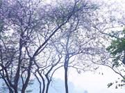 Flores de bauhinia adornan las calles de Hanoi