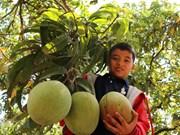 Aumenta Vietnam sus  exportaciones de mangos