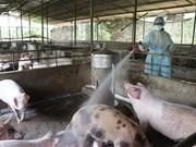 Instan a prevenir contagio de peste porcina africana en el sur de Vietnam