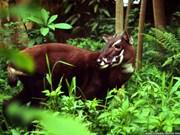 Impulsan en Vietnam conservación del antílope Saola