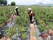 Cultivan chile etnias minoritarias de Vietnam para aumentar ingresos
