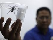 Filipinas incauta cientos de tarántulas traficadas ilegalmente