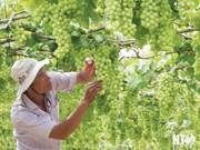 Anuncian en Vietnam próximo Festival de Uva y Vino en provincia de Ninh Thuan