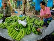 El plátano, producto de exportación principal de Laos en 2019