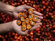 Trabaja Tailandia para distribuir excedentes de aceite crudo de palma