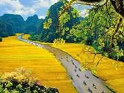 Dorados campos de arroz en la Semana de Turismo de Ninh Binh 2019