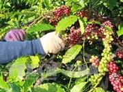 Experimentan en Vietnam sistema de datos codificados de plantación cafetera
