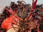 Inspeccionan en Vietnam importación de la langosta de pinzas rojas