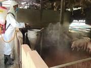 Alertan en Vietnam sobre expansión de la peste porcina africana a 46 provincias y ciudades del país