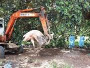 Prevé Gobierno de Vietnam apoyar a agricultores afectados por la peste porcina africana