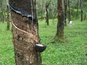 Disminuye producción de caucho natural de Malasia
