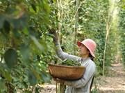 Busca Vietnam medidas para impulsar la industria de la pimienta