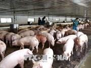 Avanza en Laos epidemia de peste porcina africana