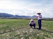 Alertan que la sequía puede afectar a más de 65 mil hectáreas de tierras agrícolas en el centro Vietnam.