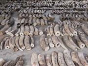 Prohibirá Singapur todos negocios de marfil desde 2021