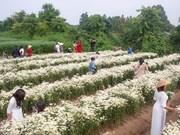 Jardín de crisantemos blanco en Hanoi atrae a jóvenes a tomar fotos