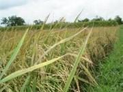 Cooperación Viet Nam-Reino Unido en estudio de arroz