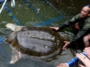 Mejora la tortuga sagrada del lago de Ha Noi