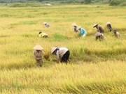 Experiencias vietnamitas en foro sobre arroz en Cuba