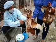 Vietnam adopta medidas preventivas contra gripe aviar