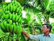 Lam Dong recupera valiosa variedad de plátano