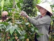 Vietnam extenderá cultivo de cacao