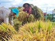Severas sequías afectan producción arrocera