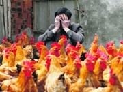 Singapur toma medidas contra la gripe aviar