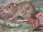 Descubren en Indonesia nueva especie de rata