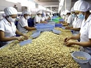 Expectativas de exportación vietnamita de anacardo