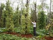 Vietnam espera 900 millones de USD por ventas de pimienta