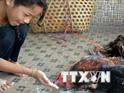 Nueva víctima de gripe aviar H5N1 en Indonesia