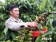 Vietnam exporta un millón 400 mil toneladas de café