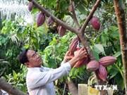 Analizan ampliación de cultivo de cacao en Tay Nguyen