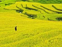 [Fotos] Impresionantes panoramas de terrazass de arroz en Hoang Su Phi