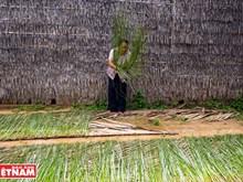 [Fotos] Aldea de oficio tradicional de esteras de Ca Hom, en la provincia deltaica de Tra Vinh