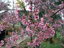 [Fotos] Flores de durazno cubren las montañas de Dien Bien en primavera