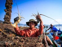 [Fotos] Cultivo de langostas en provincia de Phu Yen