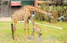 Nace una jirafa sudafricana en el zoo vietnamita
