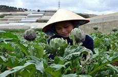 Aplica alta tecnología en producción de alcachofera en Lam Dong