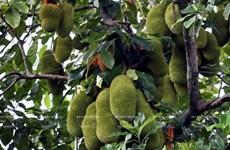 Huertas centenarias de frutas en Lai Thieu